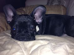 LIEF, French Bulldog Puppy❤❤