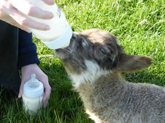 Feed the lambs at Broadgate Farm, Yorkshire