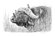 Buffalo and Oxpeckers - 2000 A3 Print, Pencil (Signed) R950.00