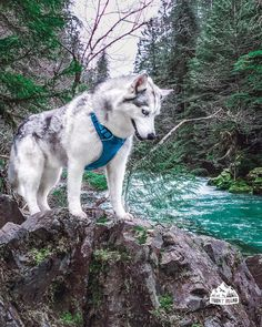 This place was so beautiful and fun to explore it was like Nature& Disneyland for Yuna is bouldering near the turquoise … Siberian Husky Puppies, Husky Puppy, Akita, Husky With Blue Eyes, Little Husky, Pet Dogs, Pets, Hiking Dogs, Snow Dogs