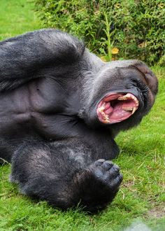Just how strong is a gorilla? How does it compare to a human? In this post, you'll learn about a gorillas strength, including how much it can lift, it's bite st Big Gorilla, Animals And Pets, Funny Animals, Cute Animals, Animals Beautiful, Chimpanzee, Orangutan, Mountain Gorilla, Anime Characters