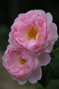 Rosa 'Scepter'd Isle'