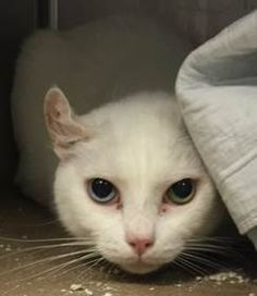 SNOWBALL - A1057561 - - Brooklyn  ***TO BE DESTROYED 11/23/15***BEAUTIFUL, SAD BUT SWEET SNOWBALL—DECLAWED ANGEL– NEEDS NEW FRIEND! Snowball is a five year old fab feline who desperately needs us to advocate for her precious life. Snowball is an all white spayed girl who came in as an owner surrender when her former owner could no longer care for Snowball and her litter mates. Snowball may need some dental work and has an aural hemotoma but despite a good prognosis,