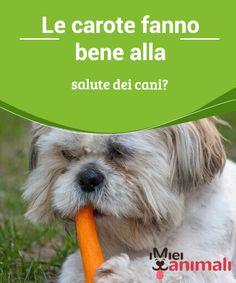 Le carote fanno bene alla salute dei cani?   I #benefici delle #carote sui cani sono molte e di diverso tipo. Tuttavia bisogna fare #attenzione: il consumo di quest'ortaggio ha delle #controindicazioni. #Alimentazione