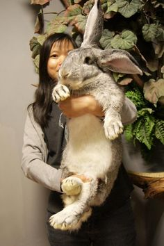 Flemish Giant, the largest breed of domestic rabbit, could weigh 30 kilograms after reaching maturity.(Photo/Hsu Mongguan)The lop eared rabbit is very easy to identify because it has very long floppy ears. Giant Bunny, Big Bunny, Cute Bunny, Animals And Pets, Baby Animals, Funny Animals, Cute Animals, Small Animals, Beautiful Creatures