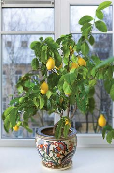 If you bring a citrus tree indoors, don't let it completely dry out