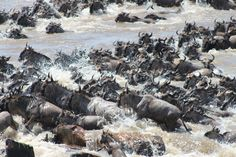 The wildebeest begin their crossing of the Mara River...