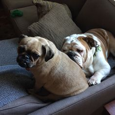 They've now taken to perching on the couch arm. And of course Jack utilizes Phyllis. #Bulldog #Puglet