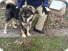 Cleveland, OH - Shiba Inu/Husky Mix. Meet Rocky, a dog for adoption. http://www.adoptapet.com/pet/10248106-cleveland-ohio-shiba-inu-mix