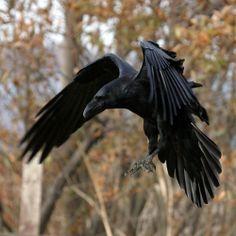 Tattoos News Pics Videos And Info Raven And Wolf, Quoth The Raven, Raven Bird, Tatto Viking, Corvo Tattoo, Rabe Tattoo, Crow Art, Crows Ravens, Mundo Animal