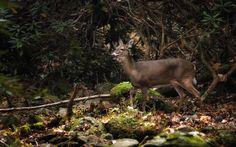 Winded deer at Cades Cove, GSMNP