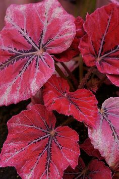 Begonia rex 'Venetian Red' #houseplants. Grow, care, tips: http://www.houseplant411.com/houseplant/begonia-rex-how-to-grow-care-tips