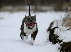 The American Staffordshire Terrier also known as Amstaff