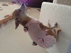 Hand knit sweater for my chihuahua