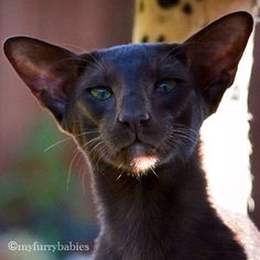 Dark Oriental Shorthair Cat - I feel that this cat has a lot of wisdom