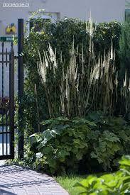 Bildergebnis für cimicifuga racemosa var. cordifolia