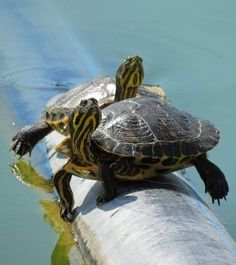 Cute Small Animals, Super Cute Animals, Animals And Pets, Red Ear Turtle, Turtle Love, Cute Baby Turtles, Kawaii Turtle, Turtle Aquarium, Aquatic Turtles