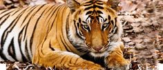 india_kanha_national_park_bandhavgarh-tiger-h1