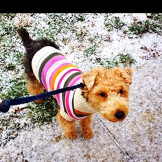 Kobie the welsh terrier