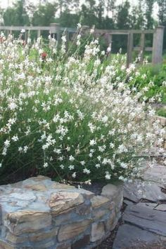 Gaura Whirling Butterflies WAND FLOWER Snow white, stratosphere white is dwarf form Herbaceous Perennials, Flowers Perennials, Planting Flowers, Love Garden, Dream Garden, Outside Flower Ideas, Gaura Plant, White Flowering Plants, Drought Tolerant Plants