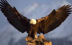 Image result for bald eagle