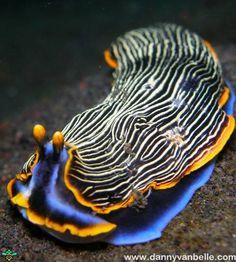 Beautiful striped nudibranch