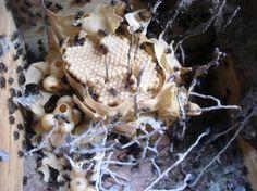 Cupira (Partamona cupira)