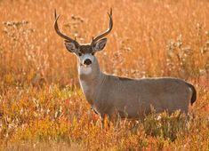 Black-tailed deer, Chris Cochems