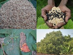 Indigenous Medicinal Rice Formulations for Heart, Kidney and Spleen Diseases and Cancer and Diabetes Complications (TH Group-118 special) from Pankaj Oudhia's Medicinal Plant Database