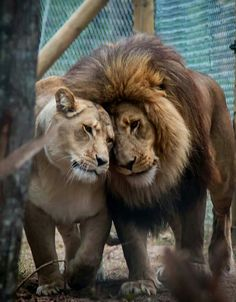 King and His Queen. Animals And Pets, Funny Animals, Cute Animals, Beautiful Lion, Animals Beautiful, Lion Pictures, Animal Pictures, Big Cats, Cats And Kittens