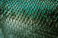 Closeup photo of Chum salmon fish scales, Sitka, Alaska. | Doug Wilson
