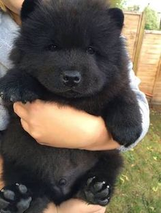 Chow chow black