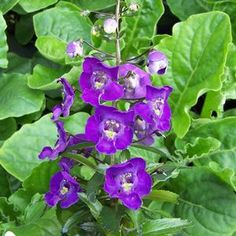 Buy Angelonia Angelface Dark Violet Annual Plants Online. Garden Crossings Online Garden Center offers a large selection of Summer Snapdragon Plants. Shop our Online Annual catalog today!