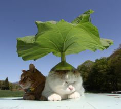蕗の日傘 |のせ猫オフィシャルブログ Powered by Ameba