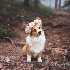 Corgi + Flower crown