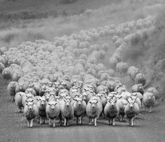 The Sheep are coming! The sheep are coming! Farm Animals, Animals And Pets, Cute Animals, Wild Animals, Beautiful Roads, Sheep And Lamb, Sheep Farm, Counting Sheep, The Good Shepherd