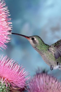 Humming bird over thistle flower