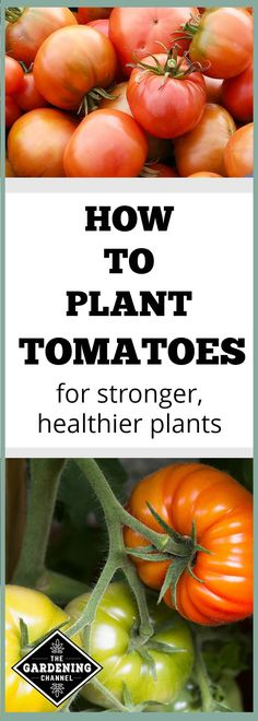 Growing Tomatoes Tips If you grow tomatoes from starter plants instead of seeds, there are several good tricks to help grow healthier tomato plants. Don't miss these tomato growing tips. Growing Tomatoes From Seed, Growing Tomato Plants, Growing Tomatoes In Containers, Small Tomatoes, Growing Seeds, Growing Vegetables, Baby Tomatoes, How To Grow Tomatoes, Tomato Seedlings