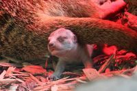 A litter of Meerkats born at the Blackpool Zoo on March 6 was photographed before they had even opened their eyes!  See more at ZooBorns.com and at http://www.zooborns.com/zooborns/2015/03/meet-blackpools-newborn-meerkat-pups-.html