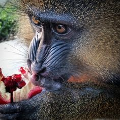 Mr Marcus, our Mandrill!