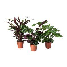 IKEA - CALATHEA, Ruukkukasvi, Viherkasvit ovat mainio sisustuselementti. Laajassa valikoimassamme on ruukkuja kaikentyylisiin koteihin ja kaikenlaisiin tarpeisiin.