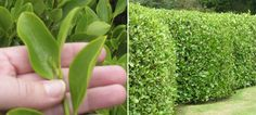 Griselinia Littoralis - Strong growing plants that tolerate coastal and exposed situations. Forms a dense hedge with shiny apple green leaves. Makes a very attractive hedge and. Hedging Plants, Growing Plants, Native Plants, Hedges, Green Leaves, Vegetables, How To Make, Cottage, Outdoors