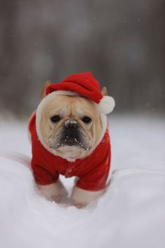 'Merry Christmas', French Bulldog in the Snow in a Santa Suit.