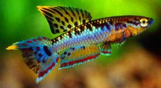 nano tank fish - Aphyosemion bivittatum - Google Search