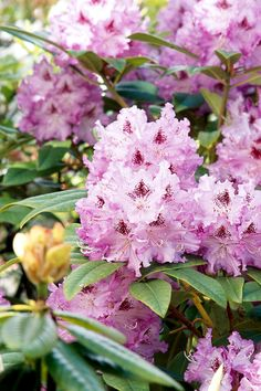 This blooming shrub offers giant clusters of springtime flowers in a wide range of colors, including warm yellows, oranges, pinks, purples, and whites. #gardenideas #gardenplants #landscaping #bestshrubs #floweringshrubs #bhg Small Flowering Plants, Small Evergreen Shrubs, Flowering Shrubs, Trees And Shrubs, Blooming Flowers, Spring Flowers, Lemon Lime Nandina, Landscaping Around House, Landscaping Ideas