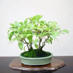 Vendo fagus crenata zelkova ullastre y pino bonsai for Bonsai vendo