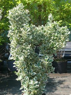 Ezeket is ültesd tuja helyett Garden, Plants, Decor, Life, Decoration, Lawn And Garden, Gardens, Dekoration, Plant