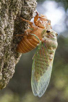Rebirth by Nikola Nastasic (emergence of Cicada)