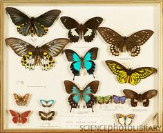 Drawer containing butterflies collected and mounted by the British naturalist Alfred Russel Wallace Natural History Museum, London Museums, Midsummer Nights Dream, Insects, Abstract Art, Butterfly, Gallery, Year 7, Collections