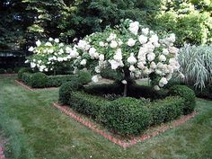boxwood and viburnum